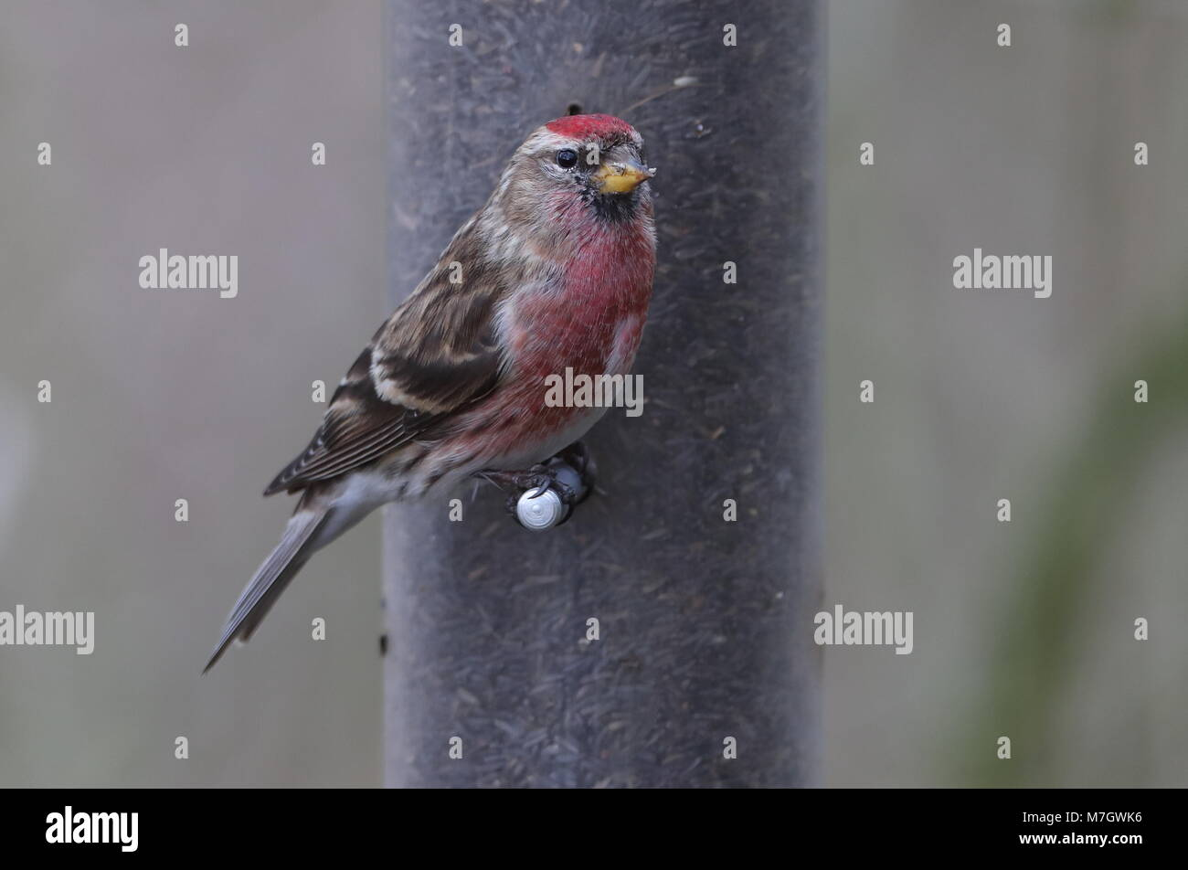 Adult male Lesser RedpollFinches - Stock Image
