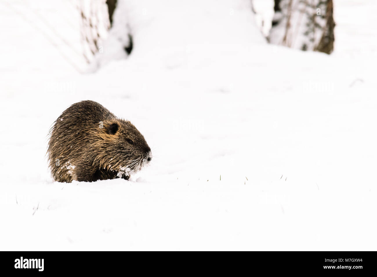 Wild coypu in the nature on the snow. Winter, cold weather, snow and frost. Also known as myocastor coypus or nutria. Stock Photo