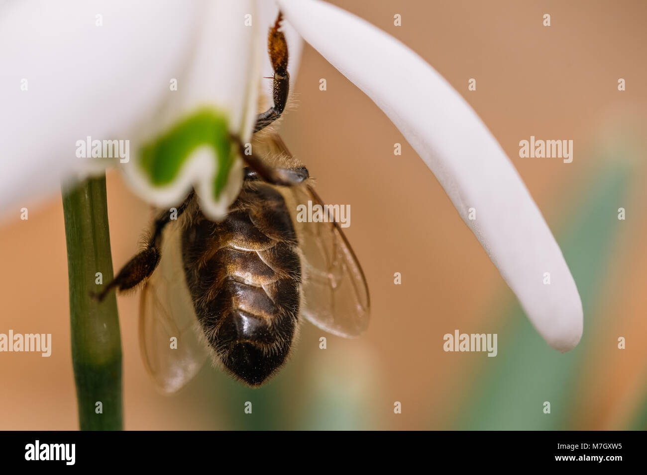 Small common snowdrop flower in early spring with bee inside. Water drop on a white petals. Detailed macro shot. - Stock Image