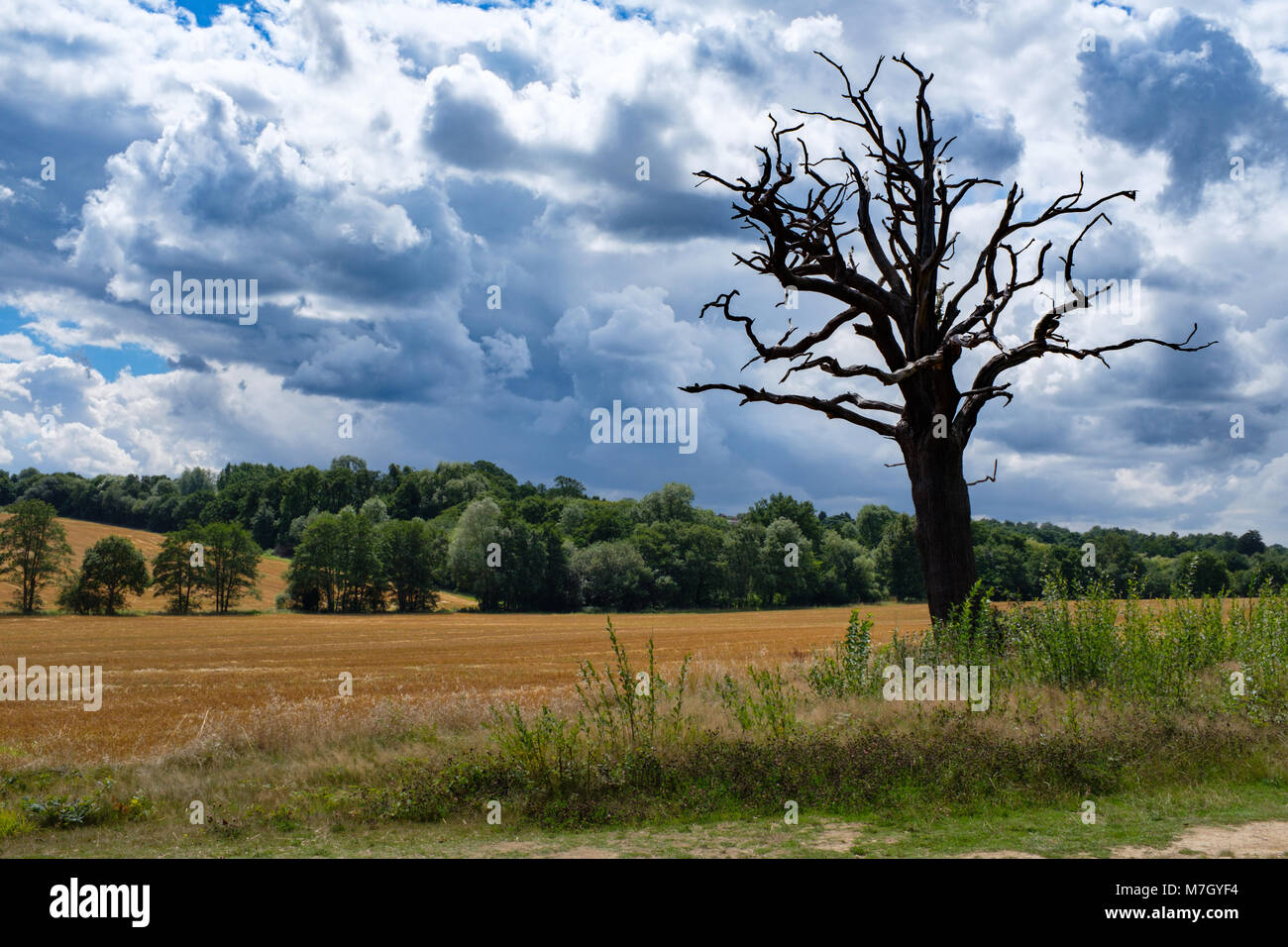 A landscape shot of an old weathered tree on farmland next to Trent Park, Hertfordshire, UK - Stock Image