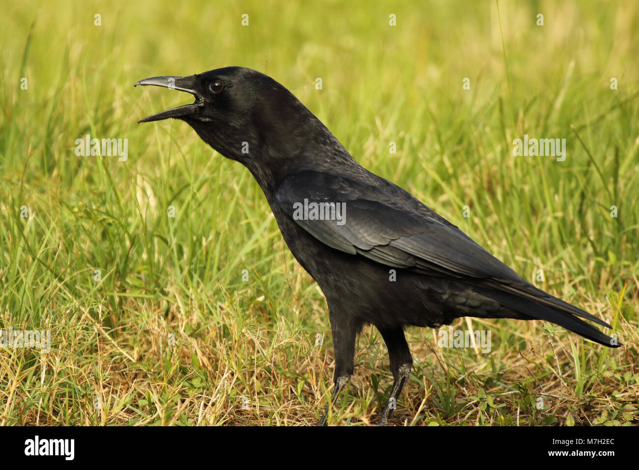 An American Crow calling loudly. - Stock Image