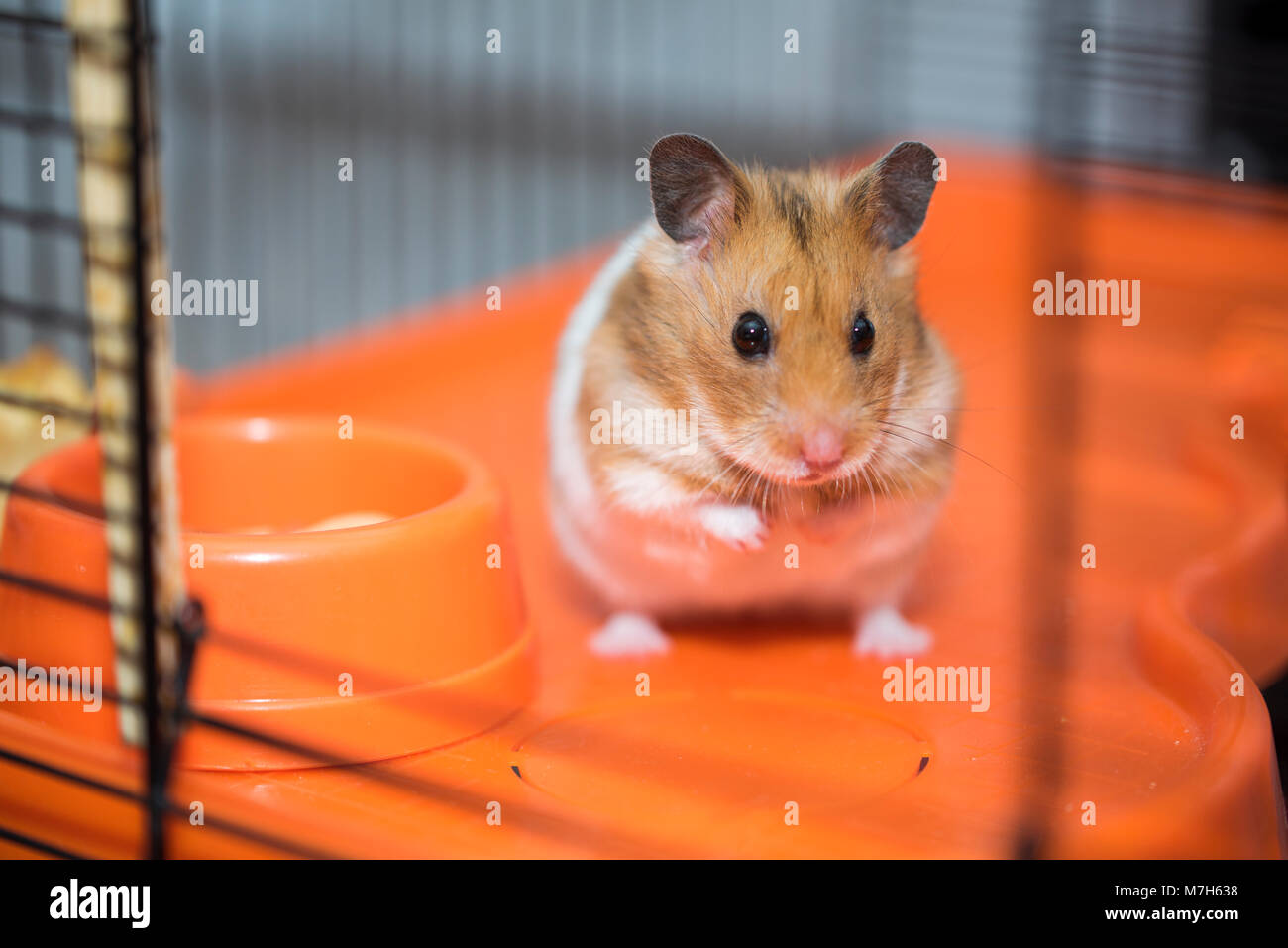 How to care for the Jungar hamster 87