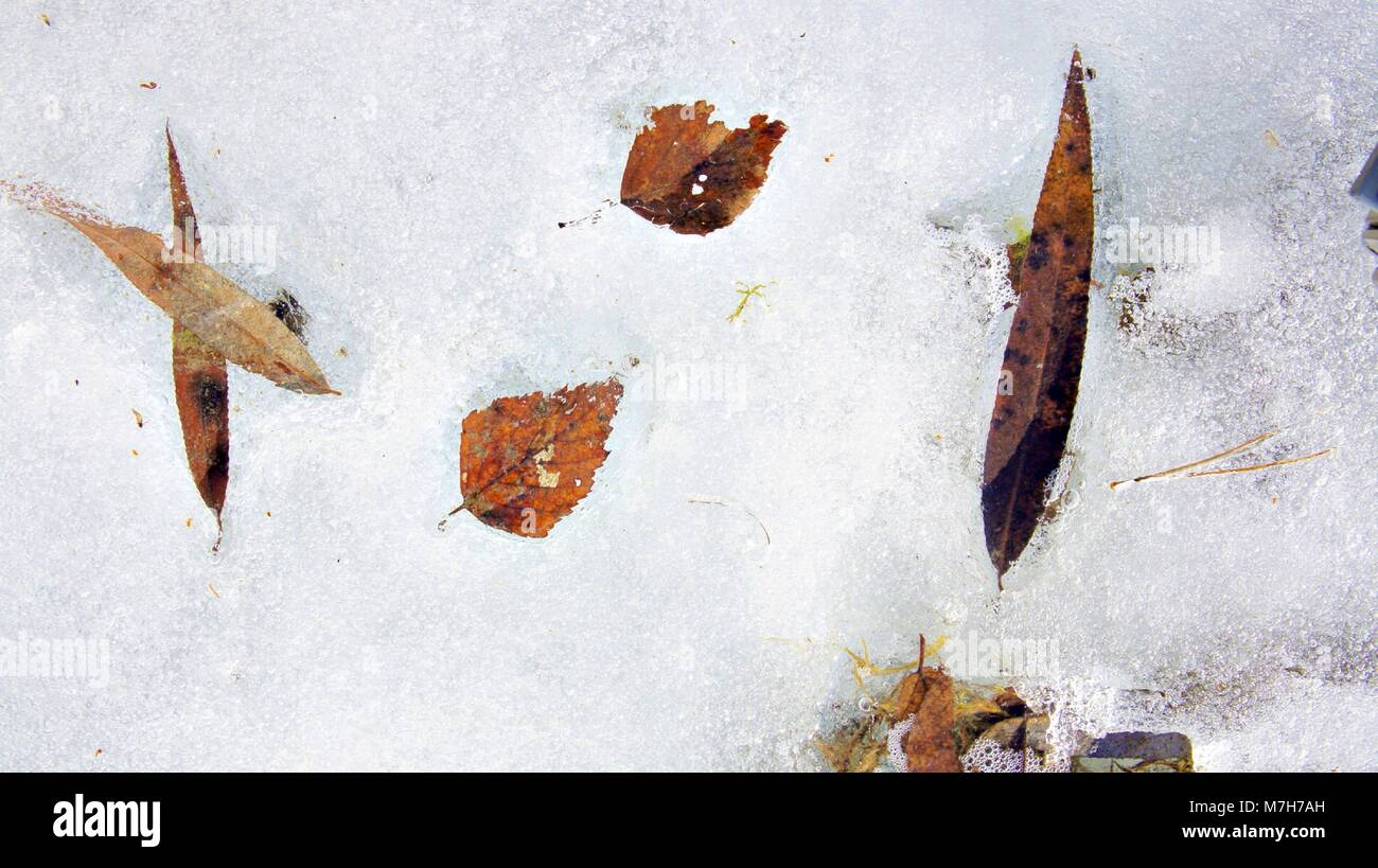 Tree leaves covered by frost on the ground into the Lake, winter season - Stock Image