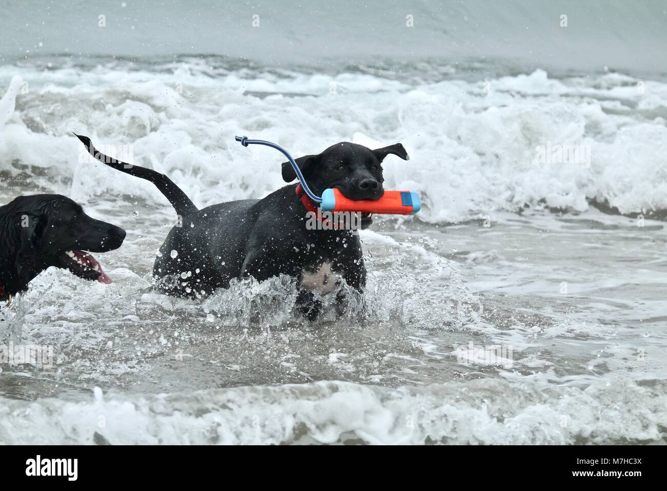 Two Large Black Dogs playing at dog beach - Stock Image