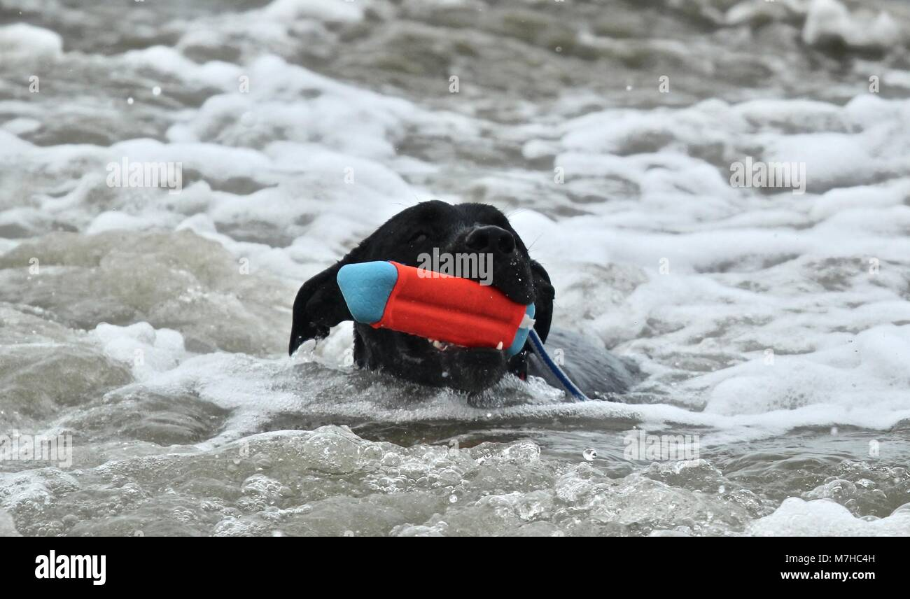black Pit Bull playing at dog beach - Stock Image