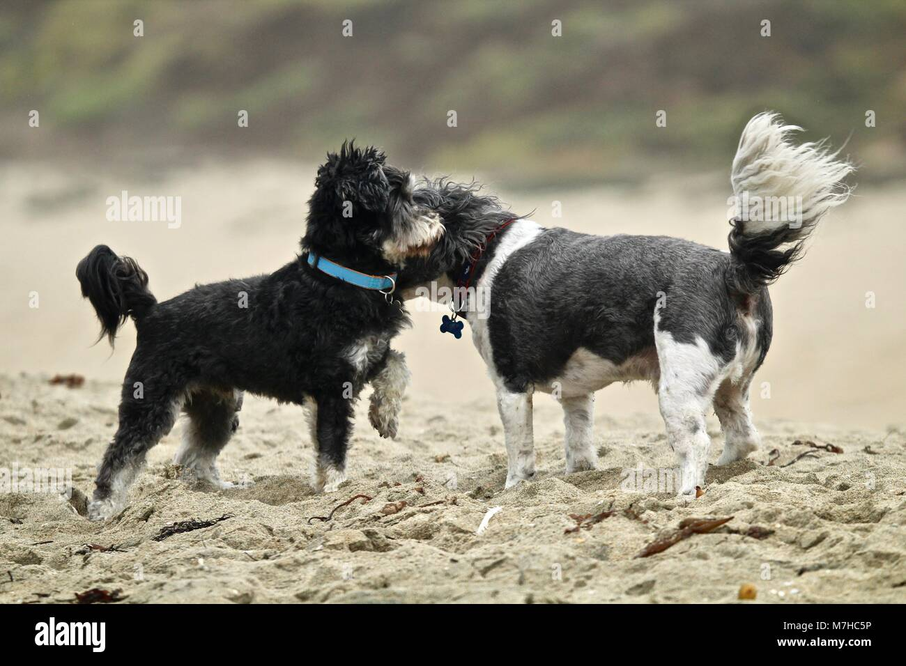 small dogs meeting at the beach - Stock Image