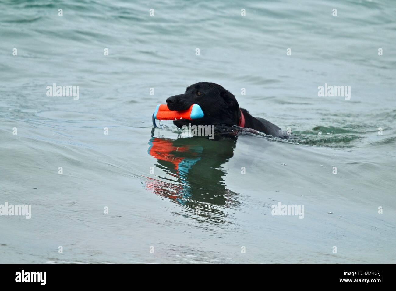 Black German Shepherd playing fetch in the ocean Stock Photo