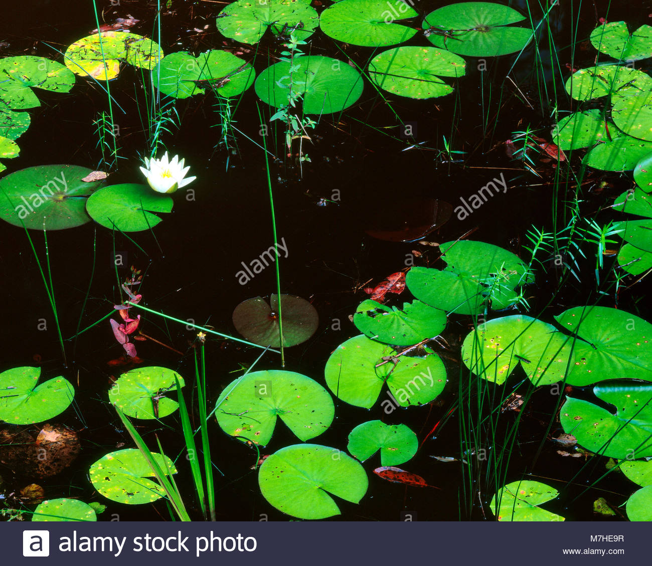 Lily Pads, Hellhole Swamp, Hellhole Bay Wilderness, Francis Marion National Forest, South Carolina - Stock Image
