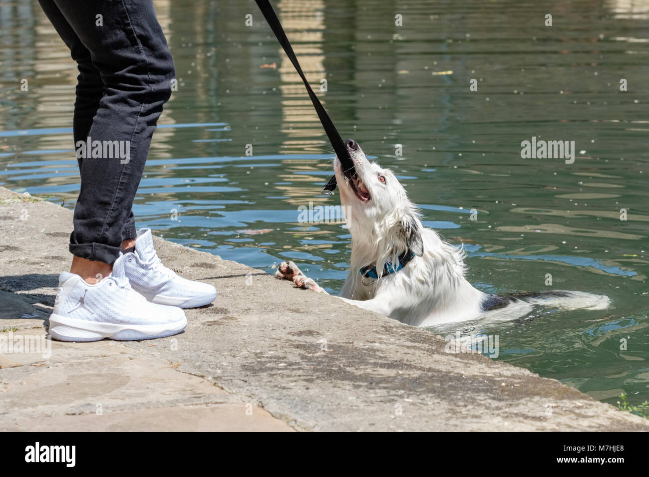 Pet Dog in and out of the river Ibaizabal, Durango, Vizcaya, Pais Vasco, Spain, - Stock Image