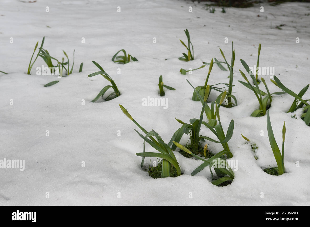 Hidden under over 40cm snow for a week melting snow is revealing spring daffodils which have yet to recover having - Stock Image