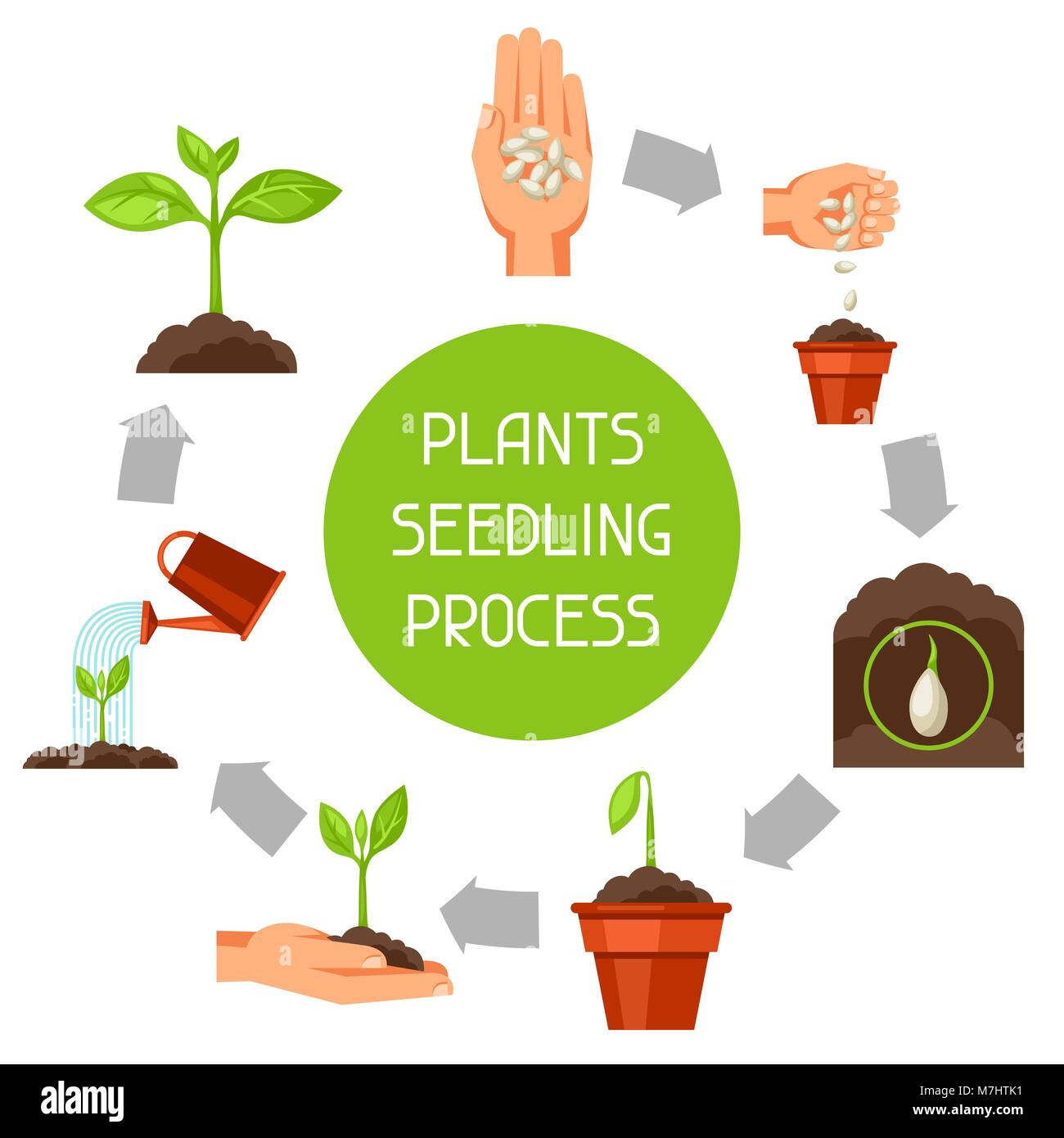 Seedling infographics with phases of plant growth. Image for advertising booklets, banners, flayers and articles - Stock Vector
