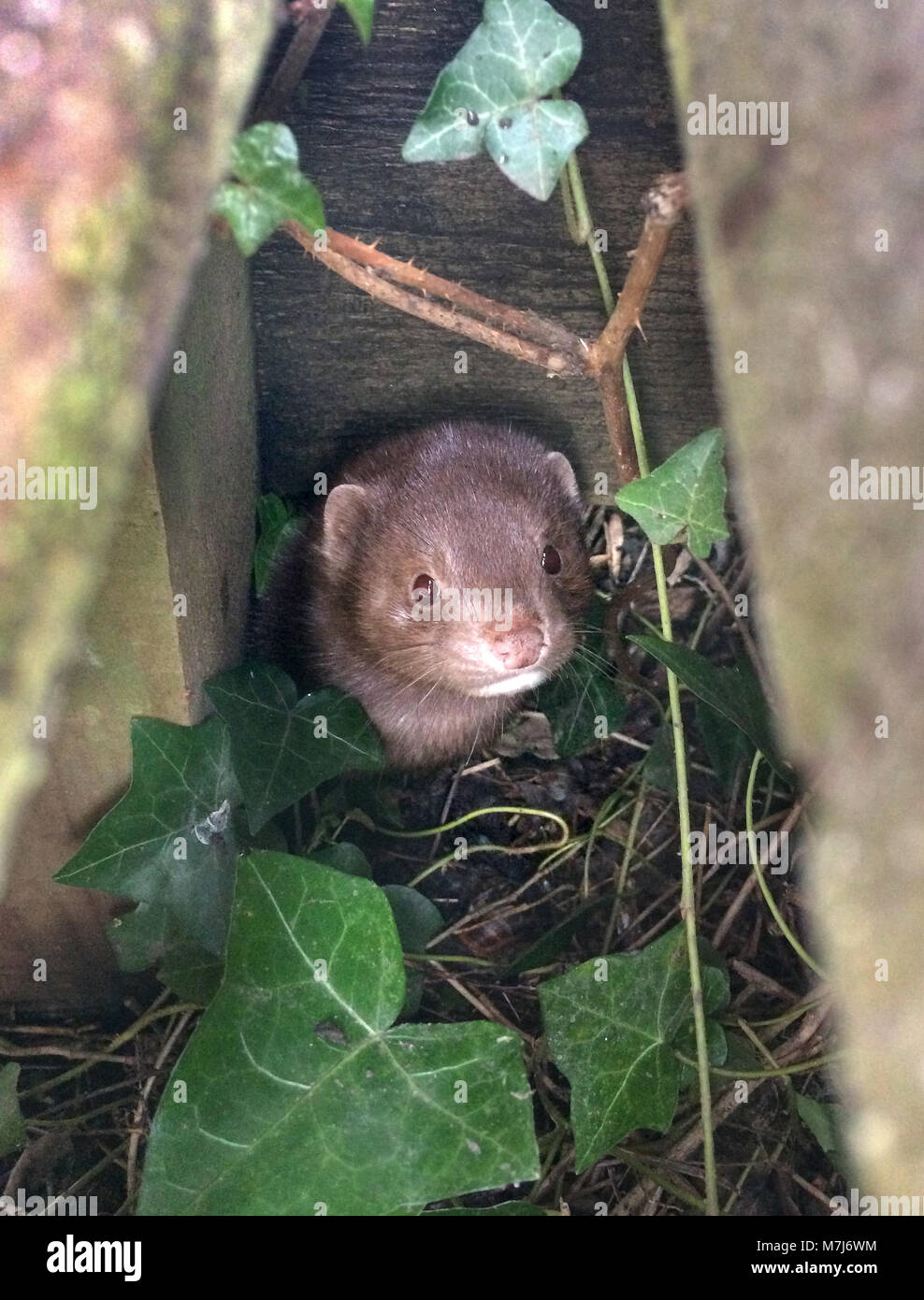 Ripe, East Sussex, UK. 11th March, 2018. A mink lurks under a wooden footbridge in the Sussex countryside. The invasive - Stock Image