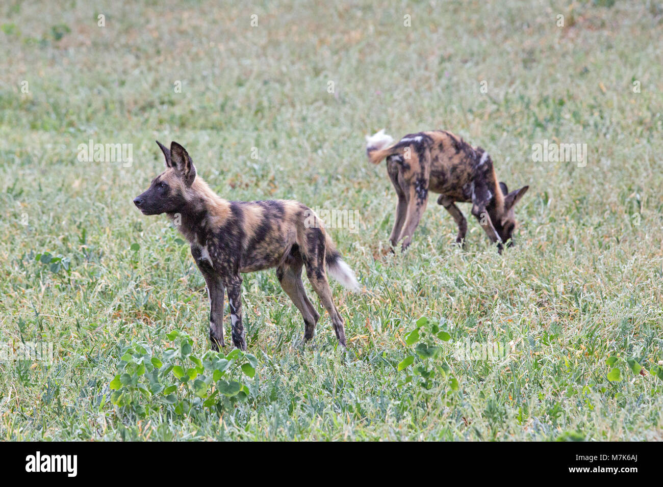 African Hunting Dog, African Wild Dog, or Painted Dogs (Lycaon pictus). Two of a pack positioning themselves ready - Stock Image