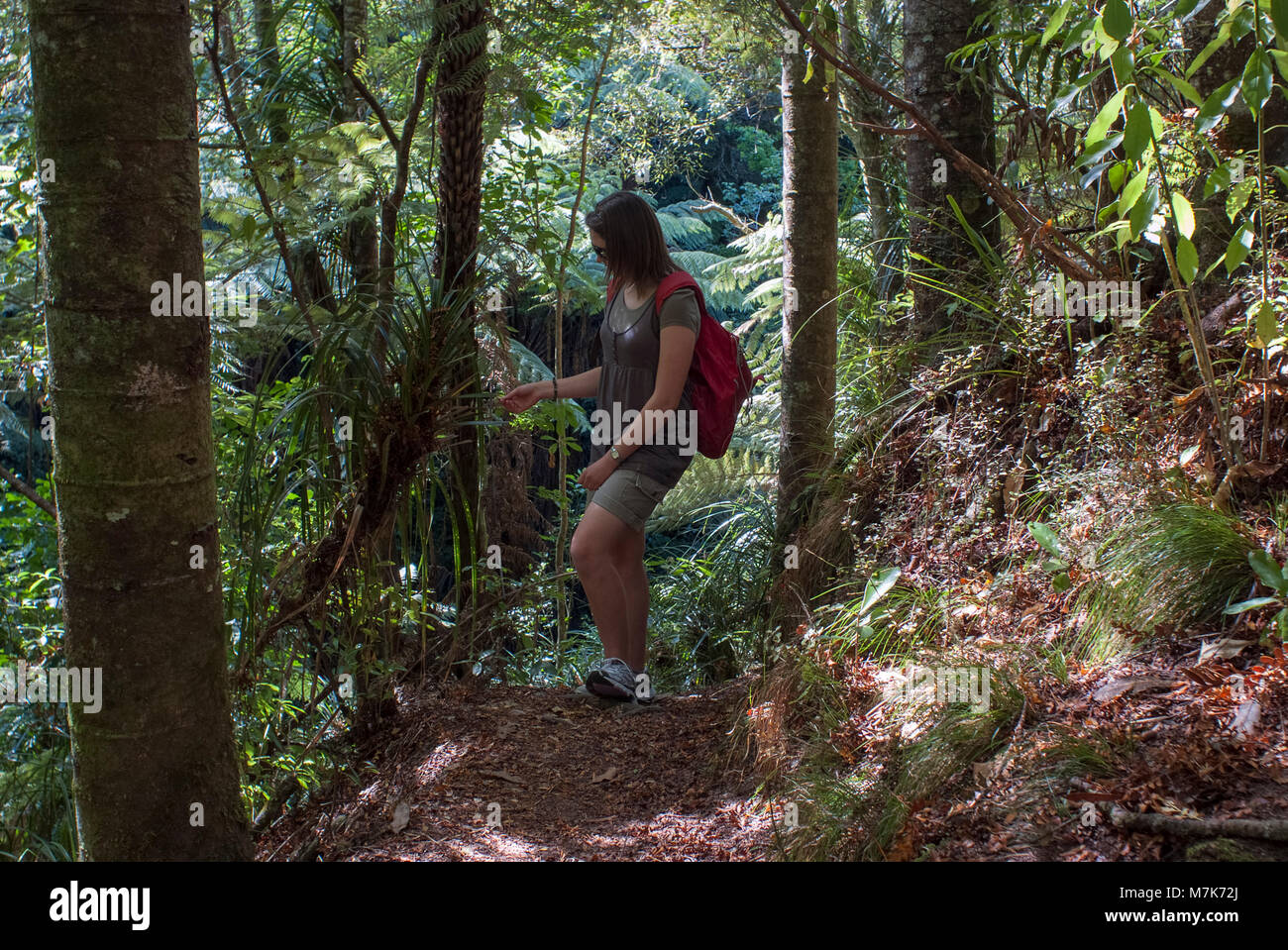 A young woman tramping though Kauri forest stops to examine a plant. - Stock Image
