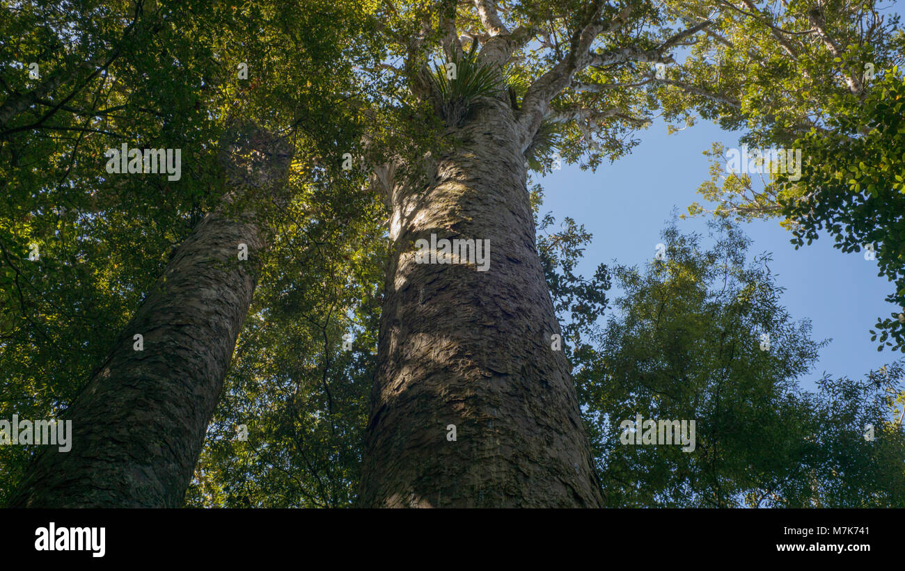 Looking up at two along the trunks of two large Kauri trees. - Stock Image