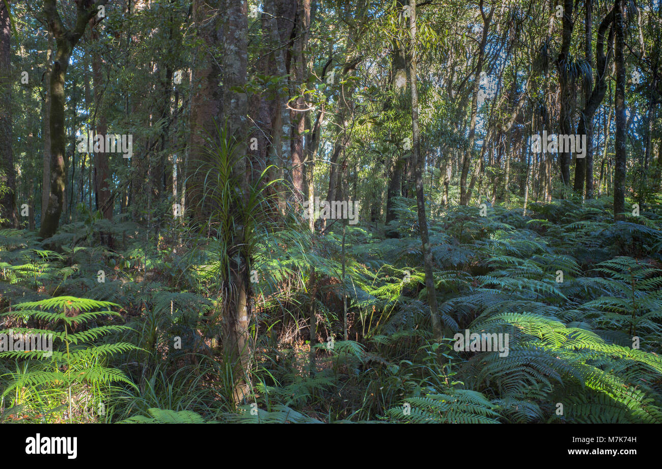 Fern and a tree fern and grasses surround young Kauri. - Stock Image