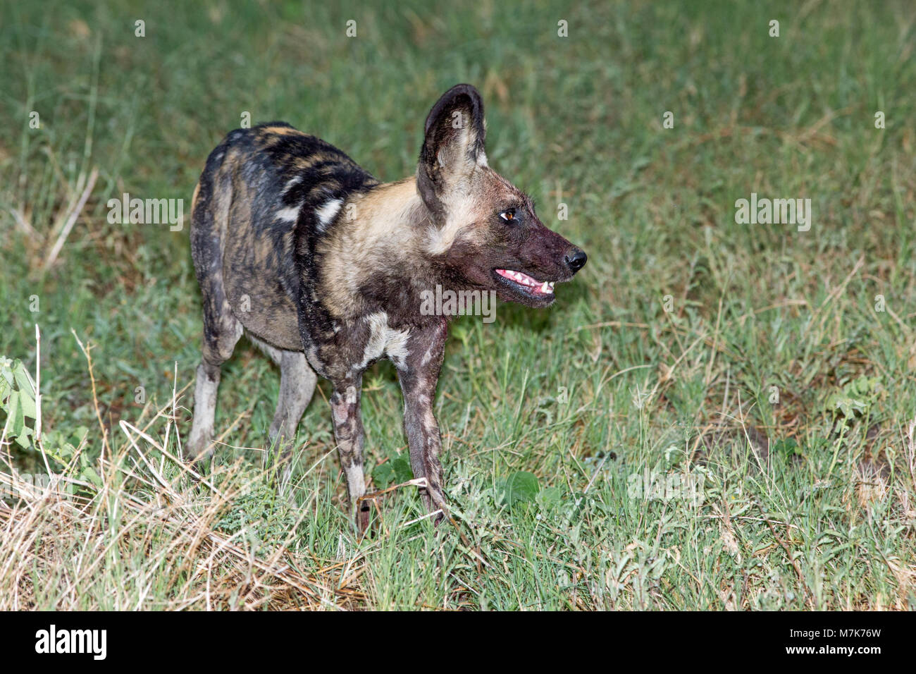 African Hunting Dog, or African Wild Dog or African Painted Dog or Painted Wolf (Lycaon pictus). Bloated, expanded - Stock Image