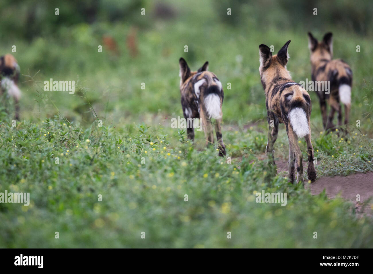 African Hunting Dog, or African Wild Dog or African Painted Dog or Painted Wolf (Lycaon pictus). Senses of sight, - Stock Image