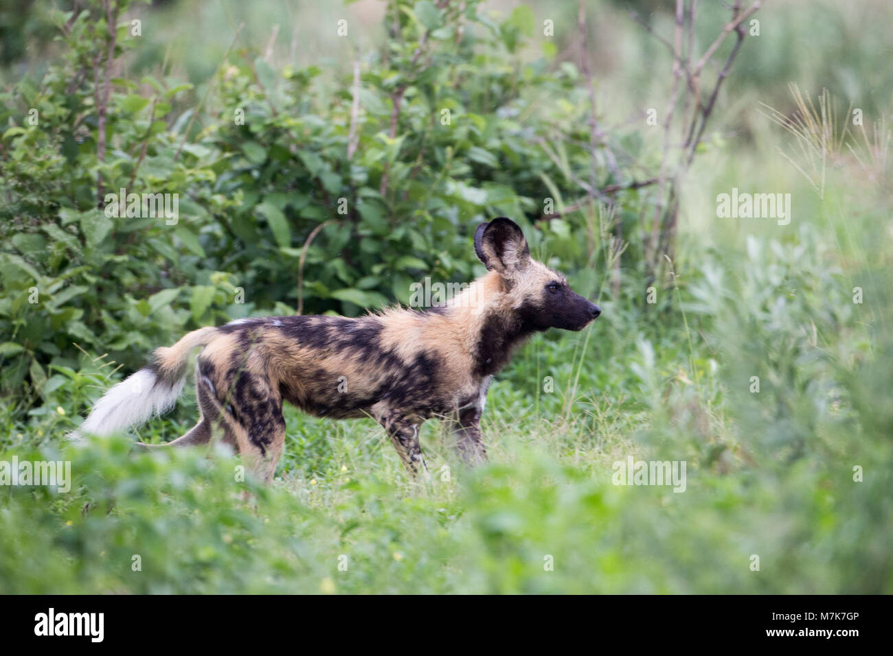 African Hunting Dog, African Wild Dog, or Painted Dogs (Lycaon pictus). One of a pack positioning themselves ready - Stock Image