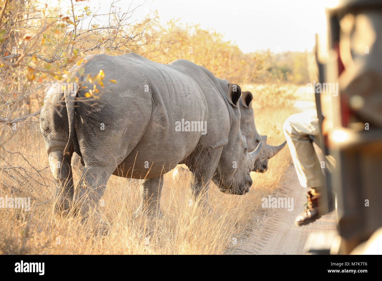 Close up view of an two African White Rhino standing near a safari vehicle - Stock Image