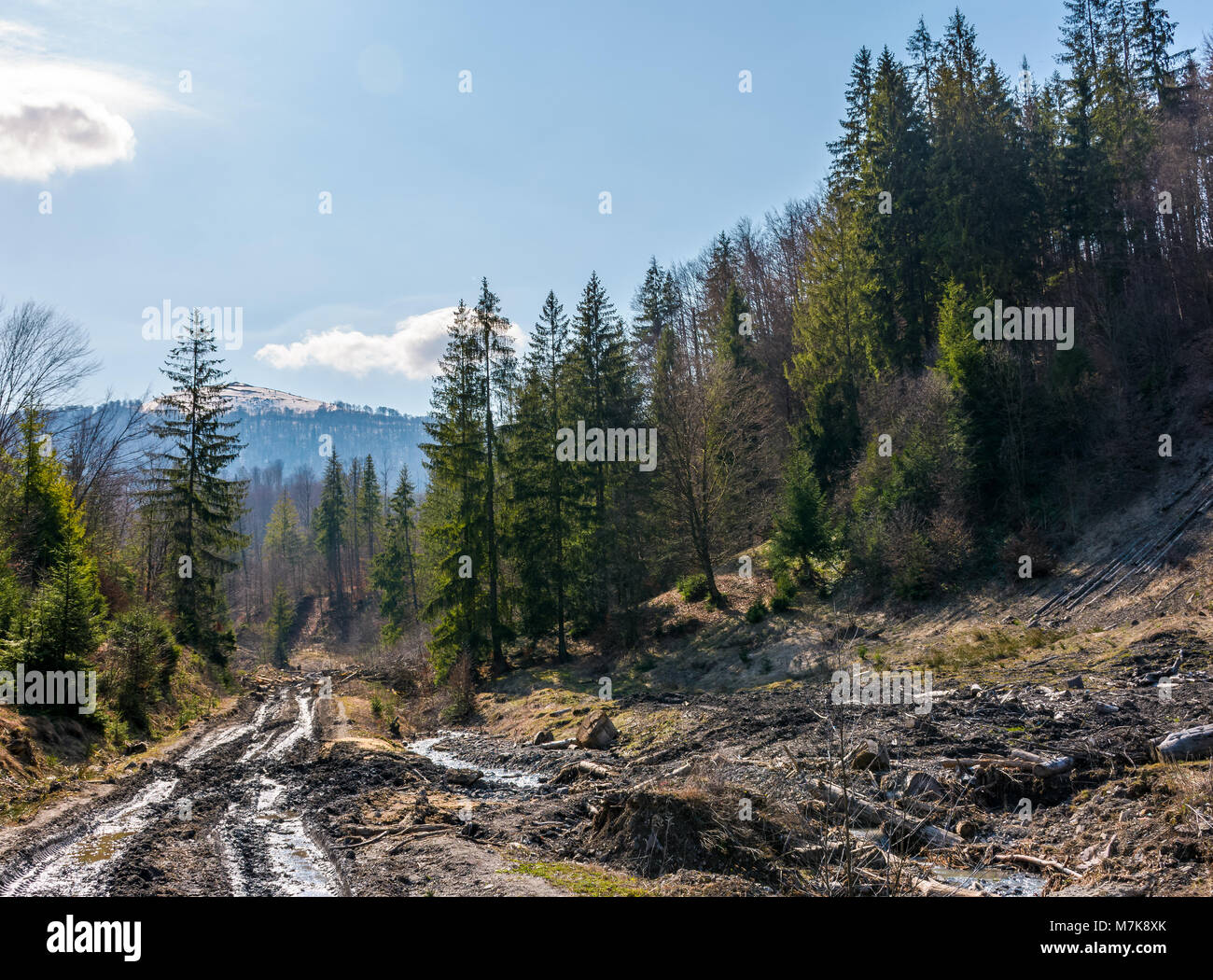 dirt road through cutting in forest. ecological disaster of Carpathian forests. - Stock Image