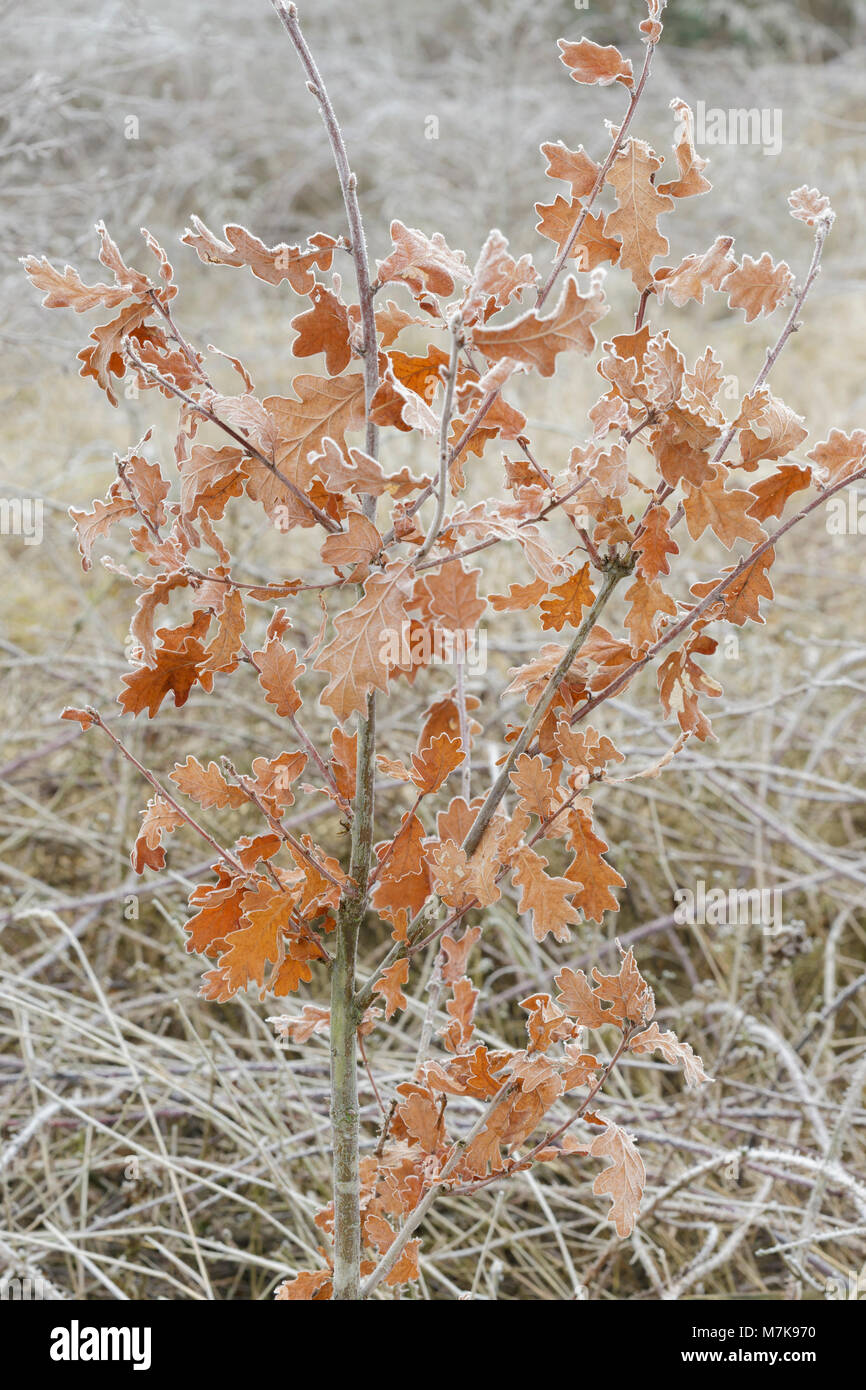Common Oak (Quercus robur) leaves coated in frost, Letchmire Pastures, Allerton Bywater, West Yorkshire, England, Stock Photo