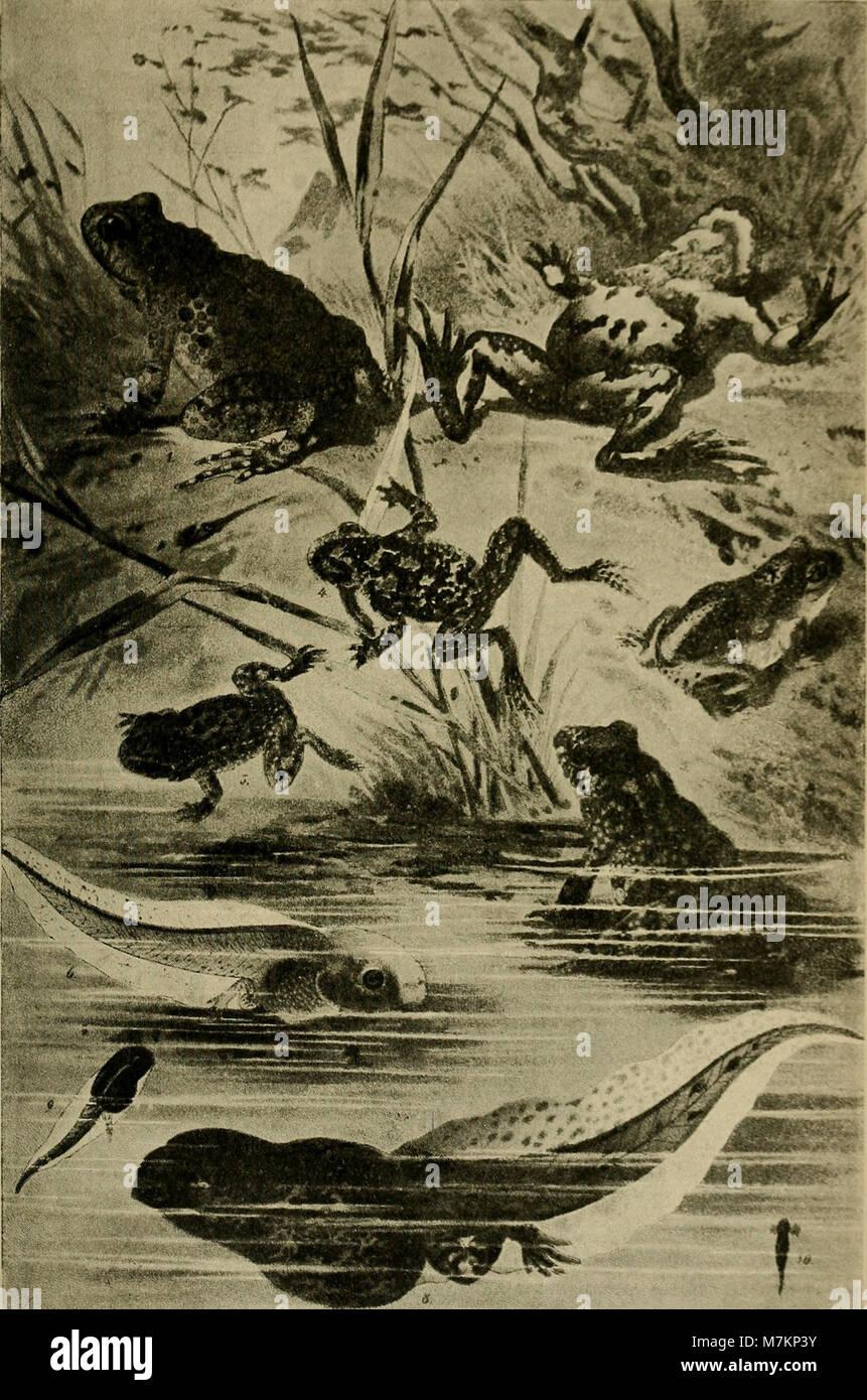 Blätter für Aquarien- und Terrarien-Kunde (1895) (20392702671) Stock Photo