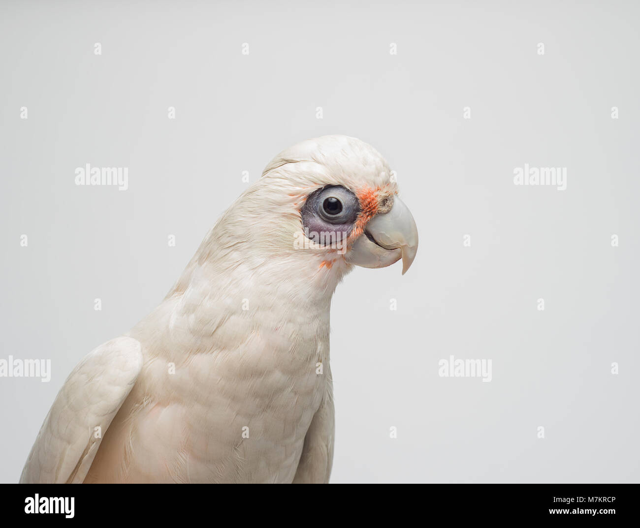 A studio shot of a Bare Eyed Cockatoo otherwise known as a Little Corella. Stock Photo