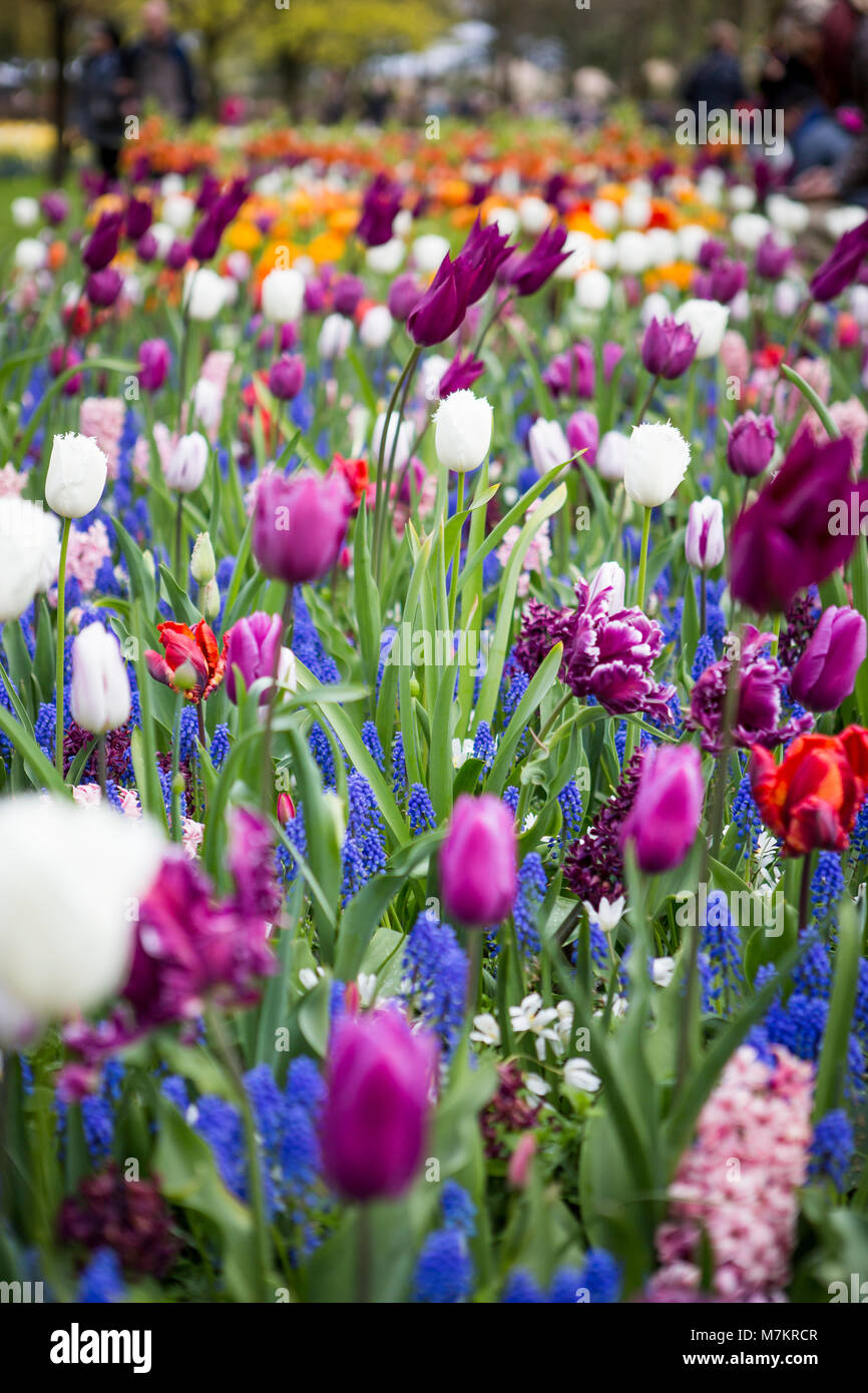THE KEUKENHOF, THE NETHERLANDS - APRIL 23, 2017: The Keukenhof is the largest flower garden in the world with more - Stock Image
