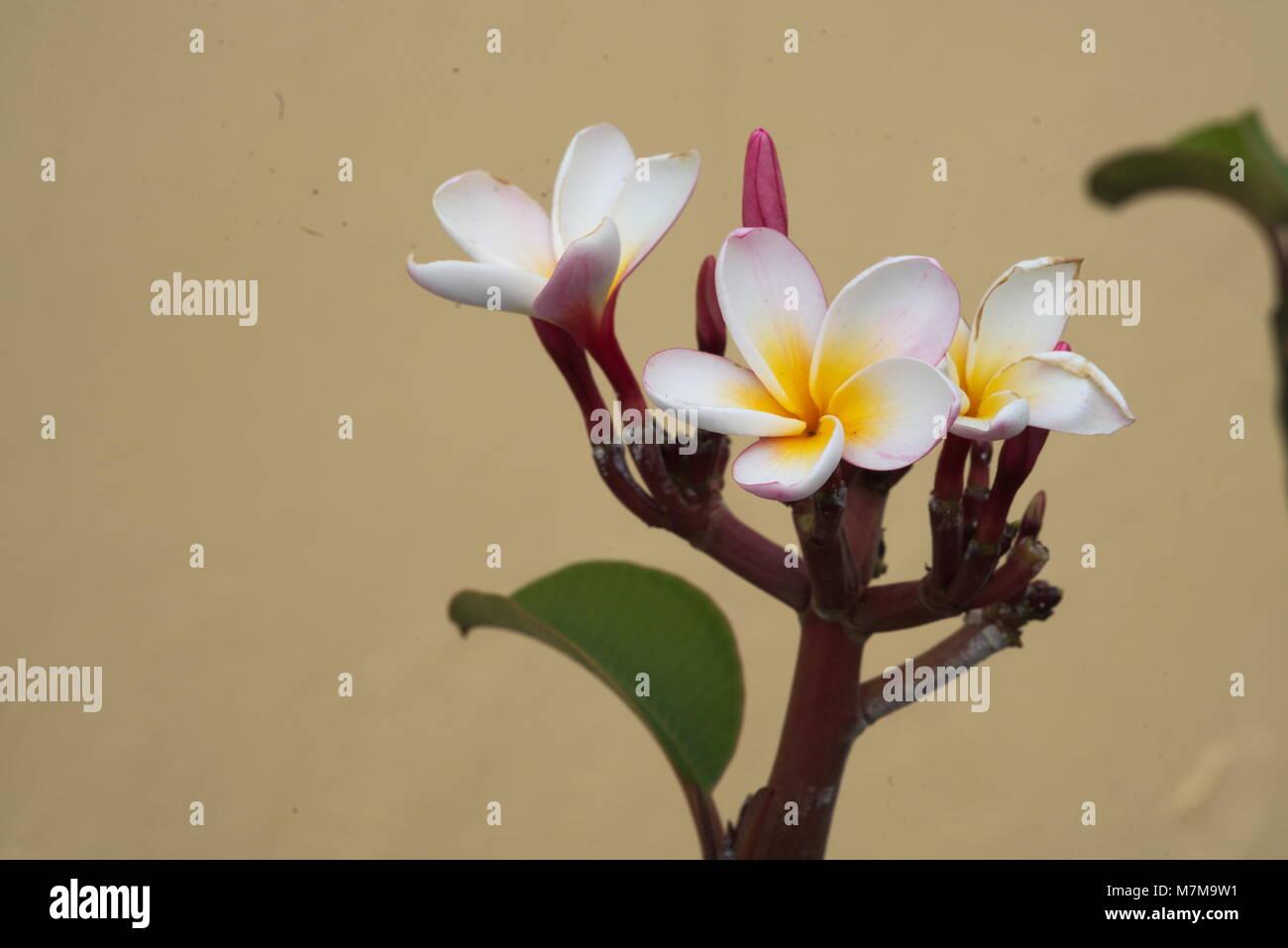 white-yellow blooms of a plumeria - Stock Image