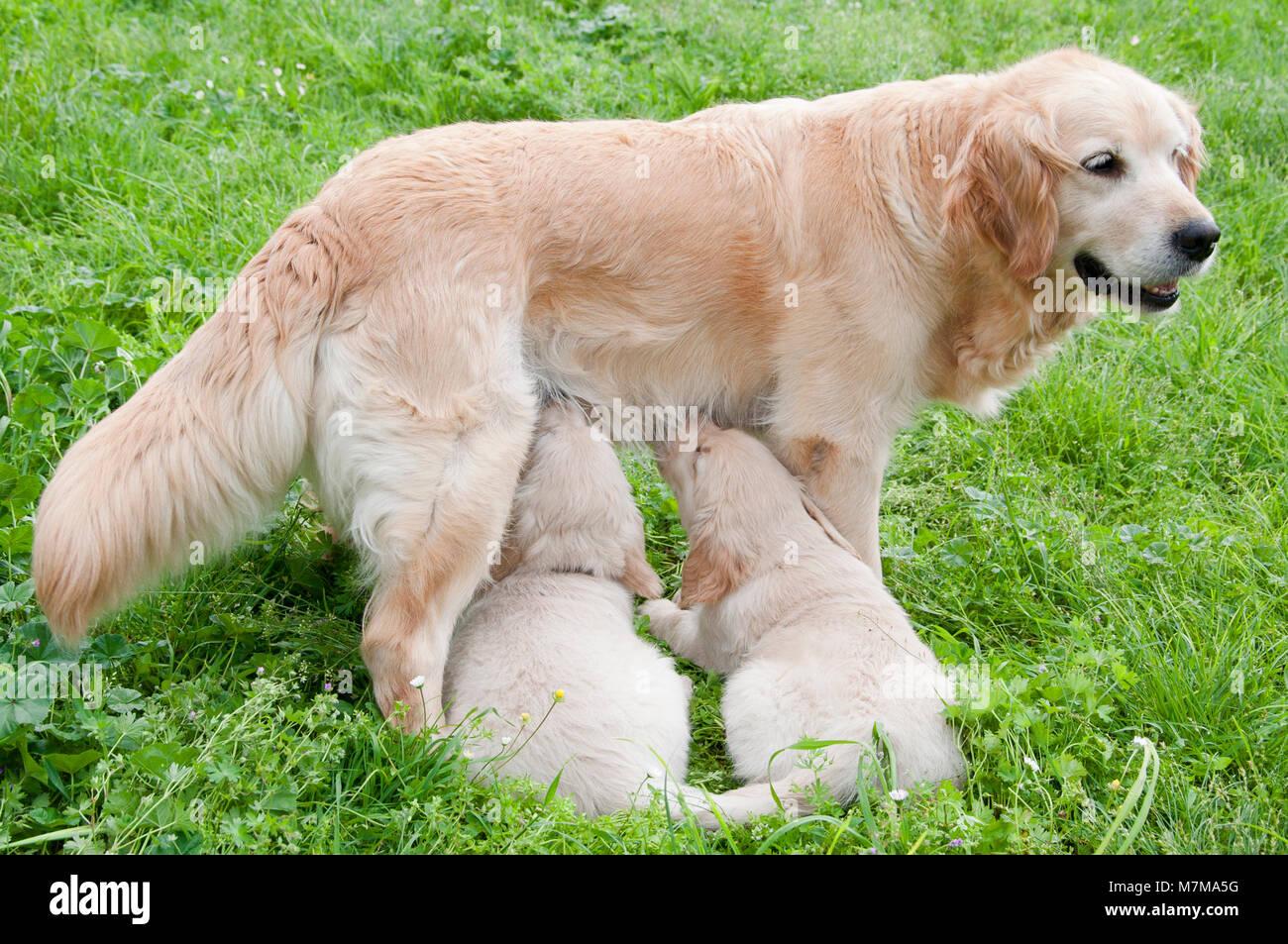 feeding two dog puppies - Stock Image