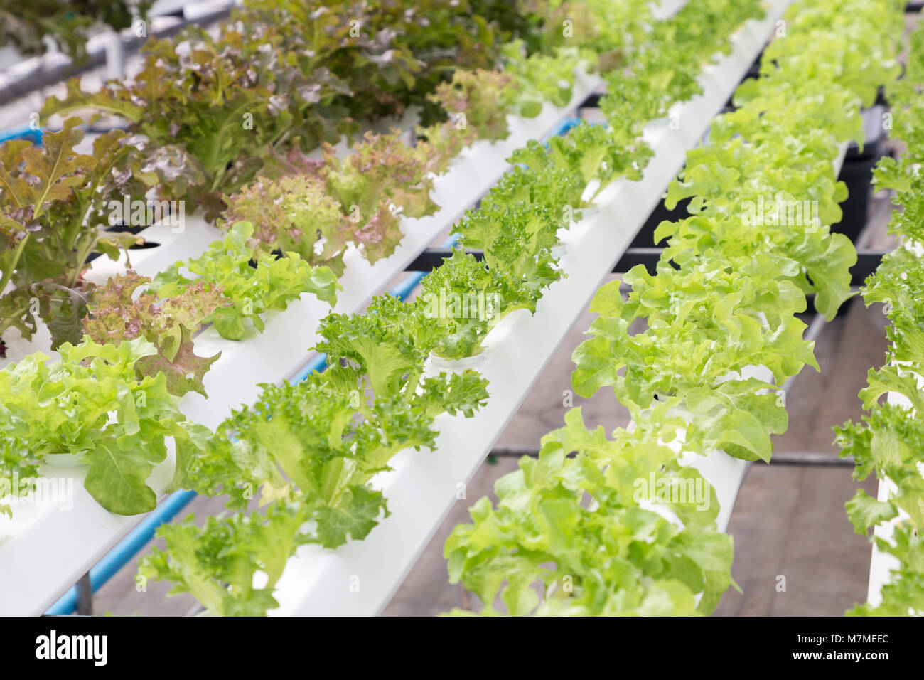 Hydroponics system greenhouse and organic vegetables salad in Stock