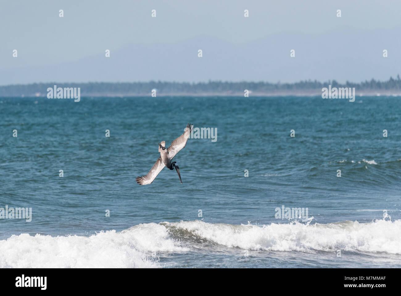 A diving Brown Pelican (Pelecanus occidentalis) Stock Photo