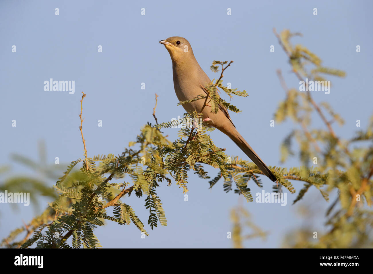 An adult female Grey Hypocolius (Hypocolius ampelinus) perched on a tree in the Kutch region of Gujarat, India - Stock Image