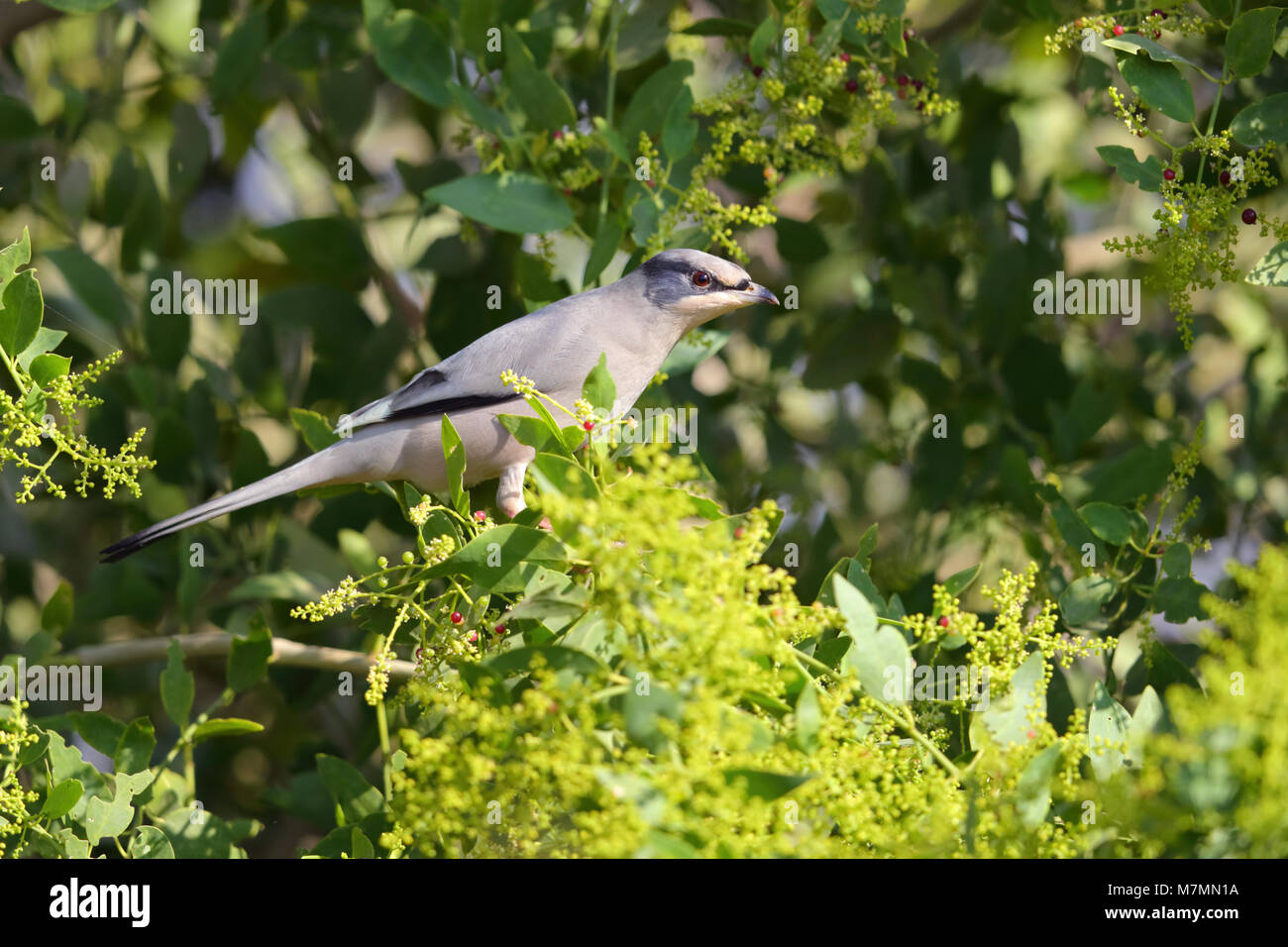 An adult male Grey Hypocolius (Hypocolius ampelinus) feeding on a fruiting tree in the Kutch region of Gujarat, - Stock Image