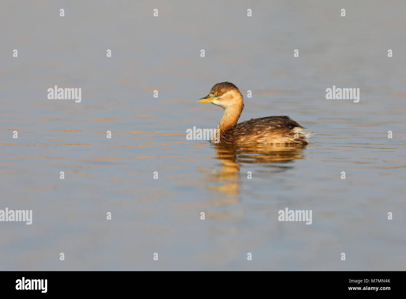 A non-breeding plumage Little Grebe (Tachybaptus ruficollis capensis) on a pool in Rajasthan, India - Stock Image