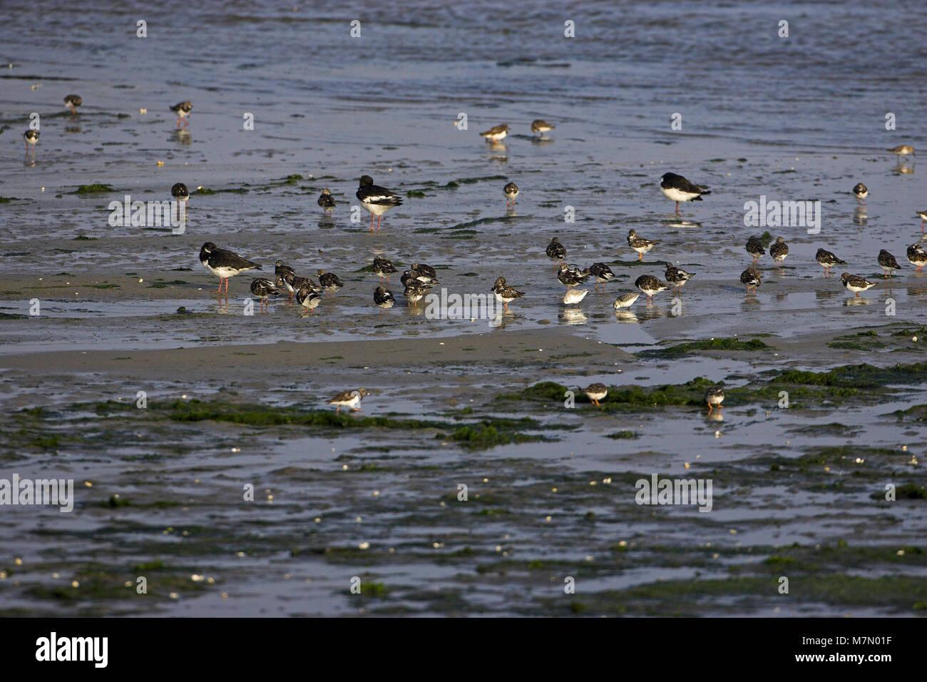 Ruddy turnstone Arenaria interpres feeding in estuarine mud Brittany France - Stock Image