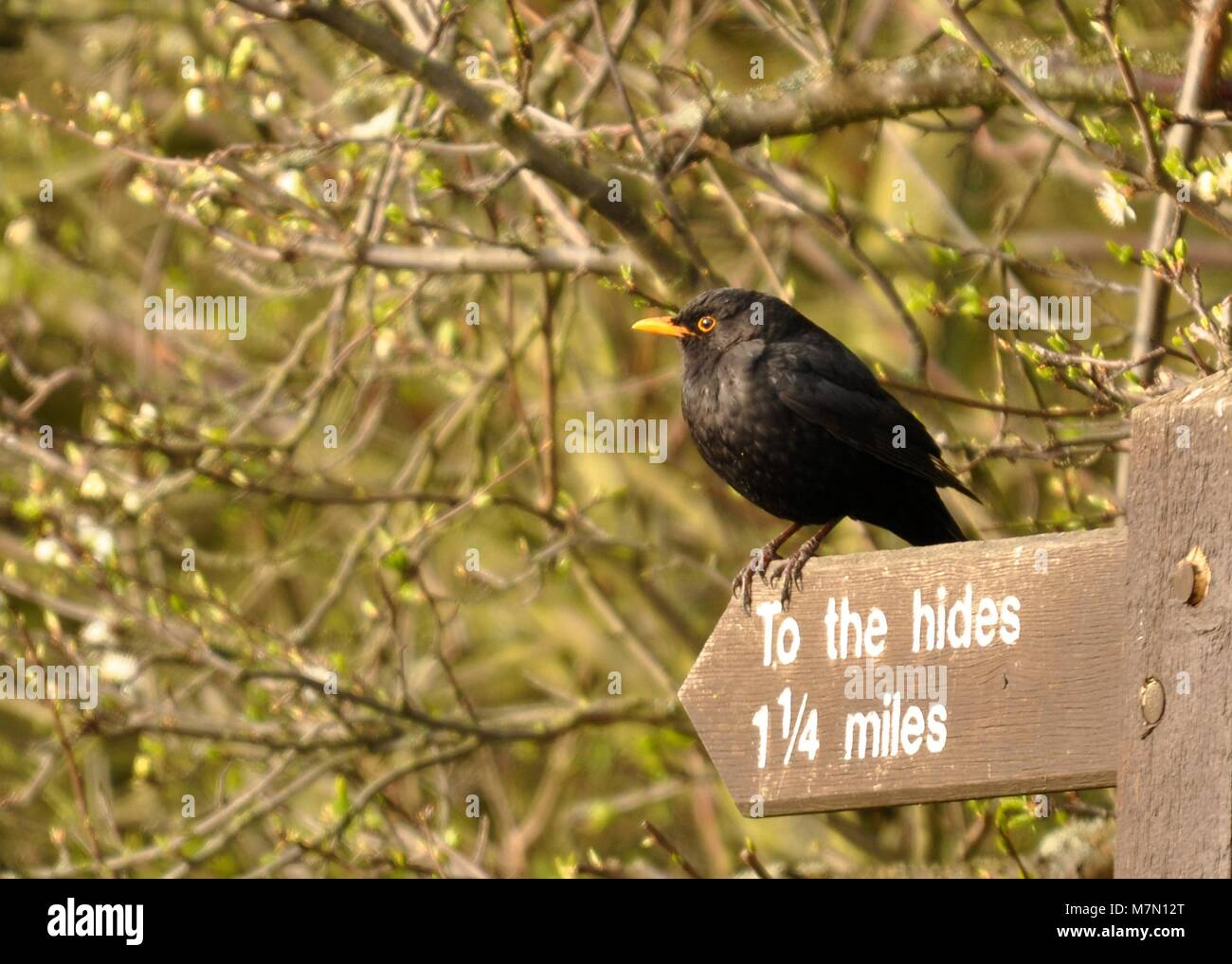 Common Blackbird (Turdus merula) conveniently perched on a to the hides sign. Elmley Nature Reserve, Kent. - Stock Image