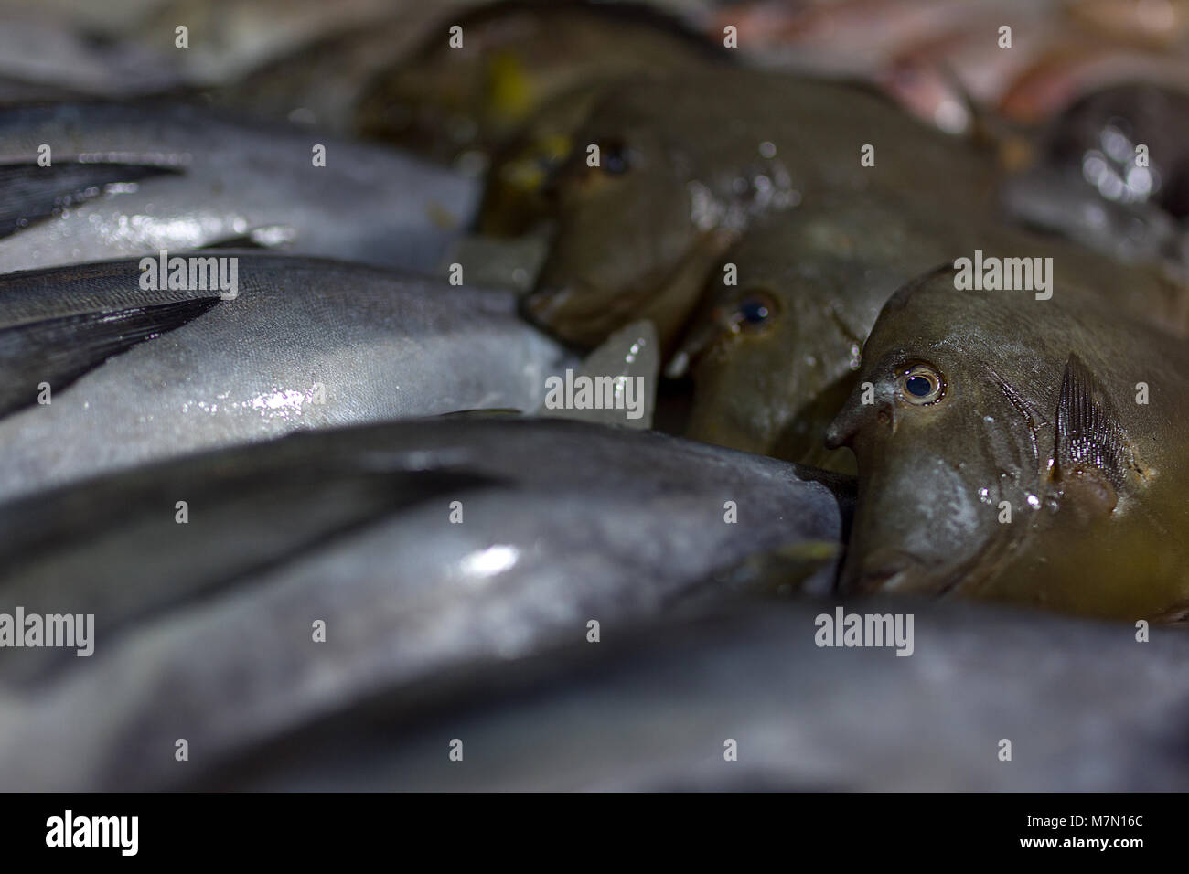 Close up of fresh fish from the south china sea around the islands of the Philippines laid out of display at an - Stock Image