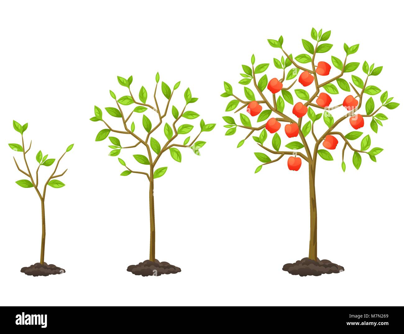 Growth cycle from seedling to fruit tree. Illustration for agricultural booklets, flyers garden - Stock Vector