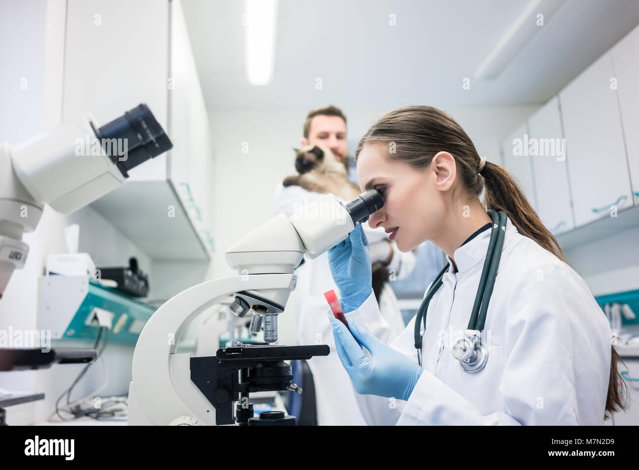 Lab assistant and veterinarian examining tissues sample from a cat - Stock Image
