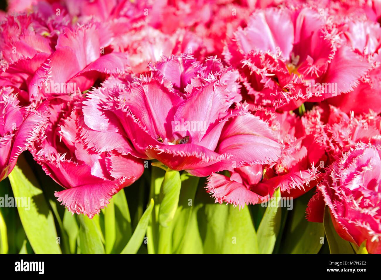 Tulipa Crispion Dark - Stock Image