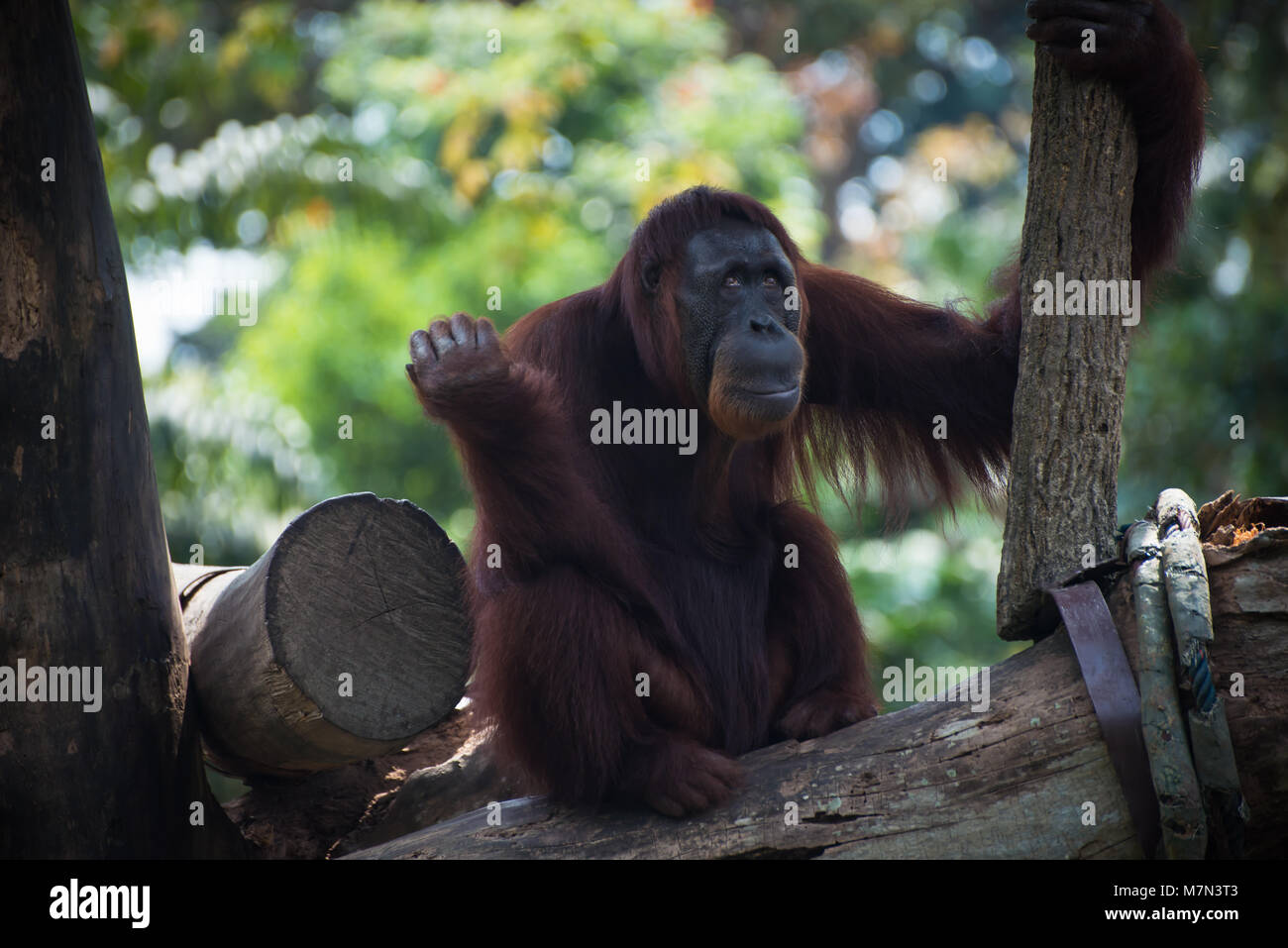 Pensive primate looks up. Smiling orangutan sits alone on the tree. Funny monkey on the nature background - Stock Image