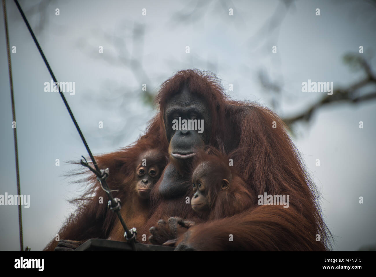 Sad orangutan with two children sits together. Pensive primate with closed eyes embraces two offsprings. Monkey - Stock Image