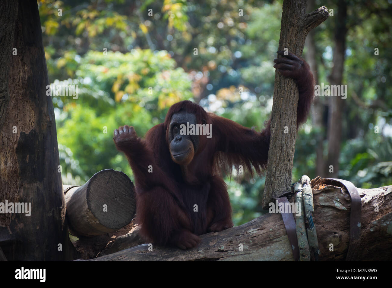 Smiling orangutan sits alone on the tree. Pensive primate looking away. Funny monkey on the nature background - Stock Image