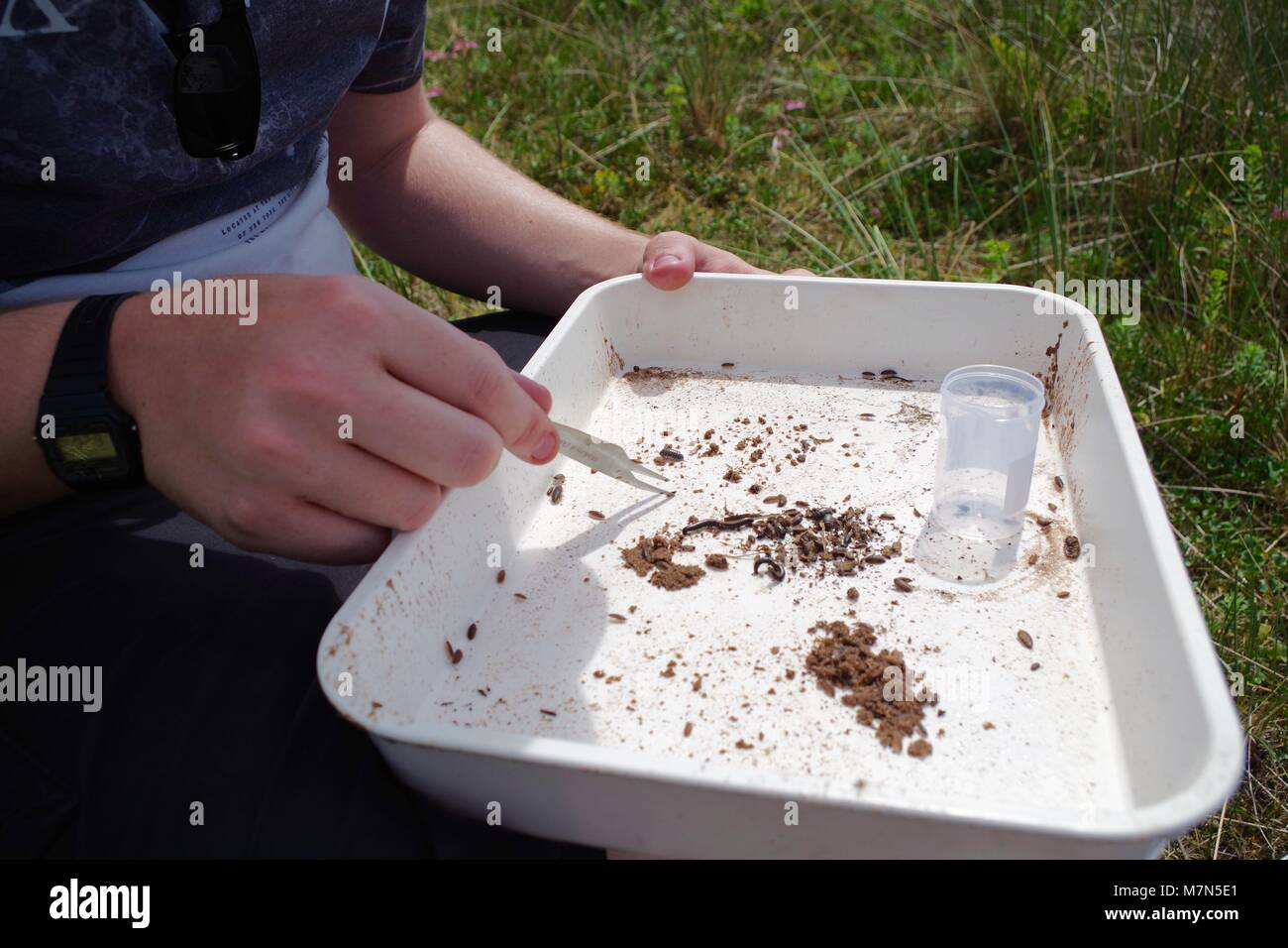 Ecology Student Collecting Primary Entomology Field Data, White Sample tray. Dawlish Warren, Devon, UK. July, 2017. Stock Photo