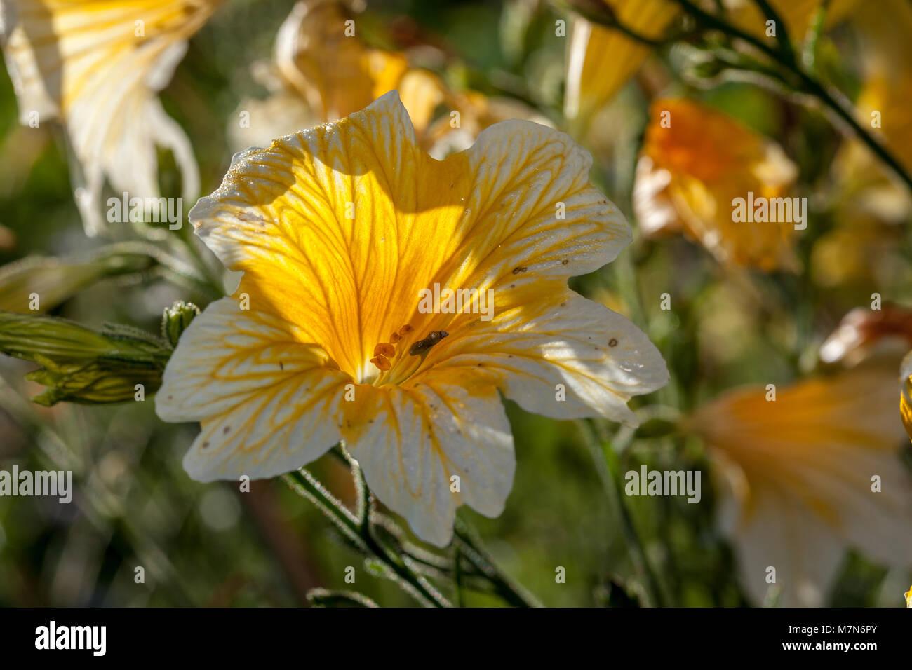 Velvet Trumpet Flower, Trumpetblomma (Salpiglossis sinuata) Stock Photo