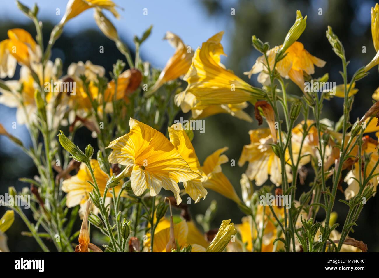 Velvet Trumpet Flower, Trumpetblomma (Salpiglossis sinuata) - Stock Image