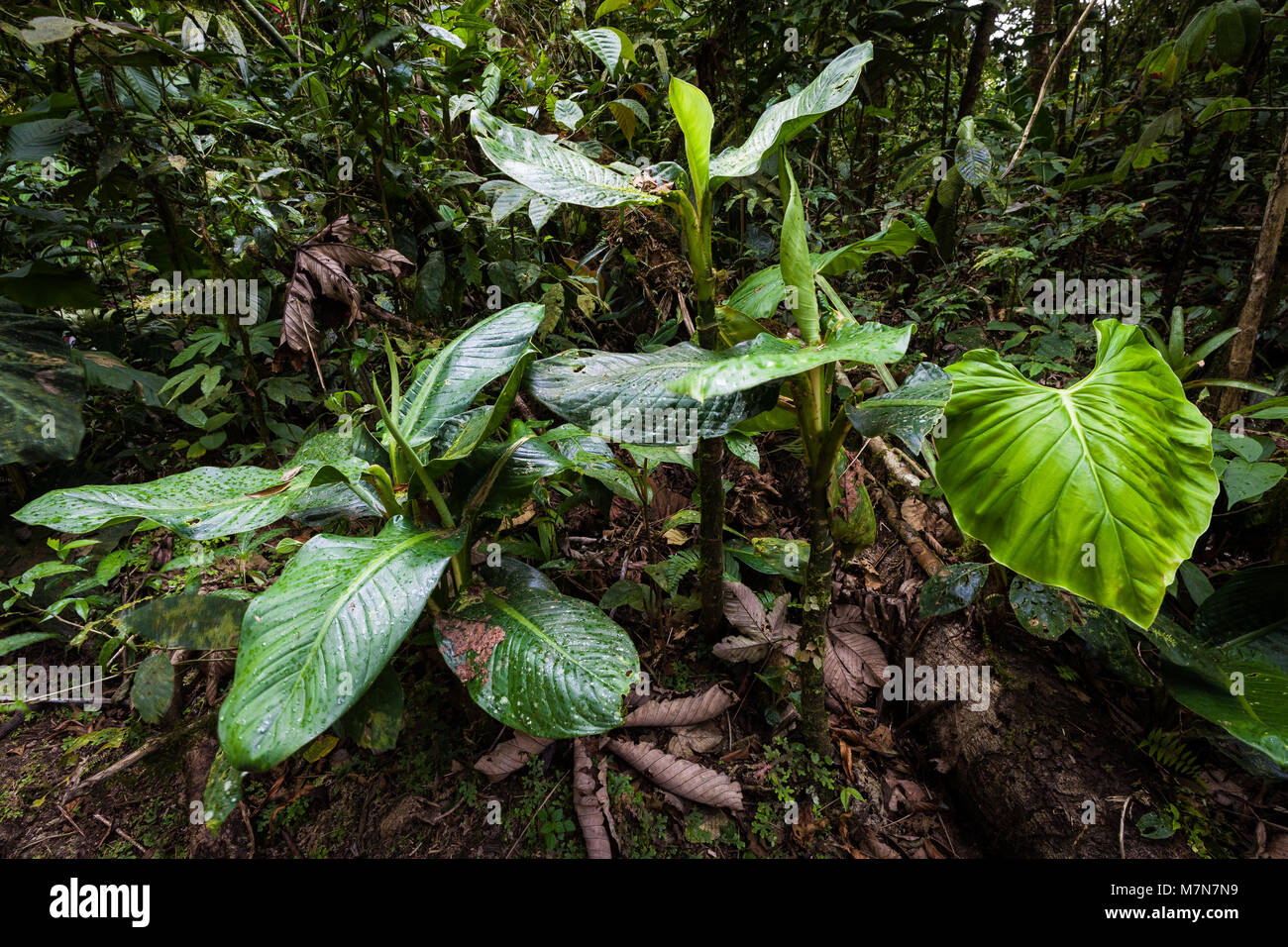 Beautiful vegetation on the forest floor in the cloudforest of Cerro Gaital, El Valle de Anton area, Cocle province, Stock Photo