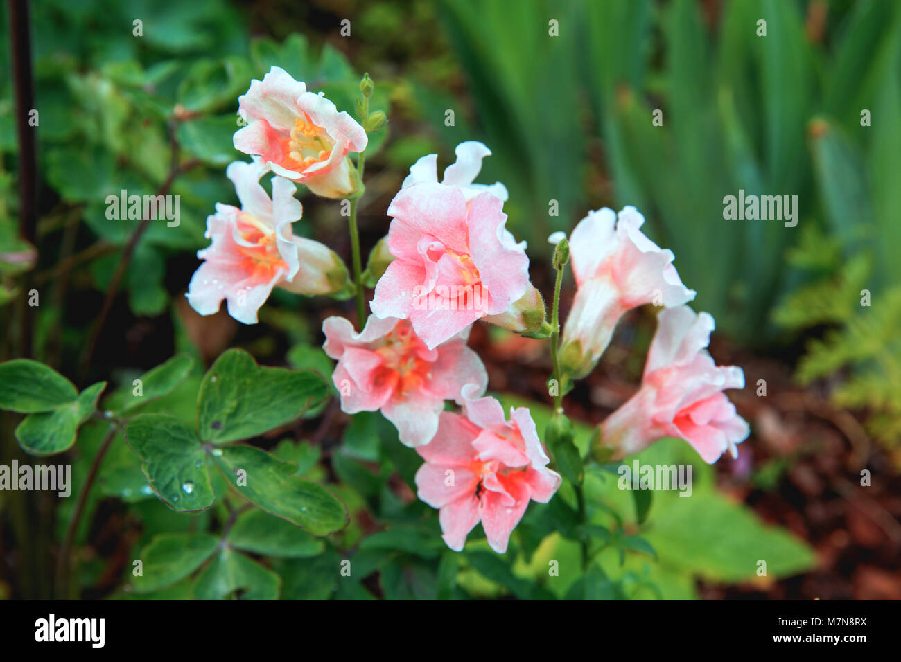 White snapdragon or antirrhinum close up snap dragon flower in white snapdragon or antirrhinum close up snap dragon flower in garden as colorful background or card snapdragon has been known since antiquity mightylinksfo